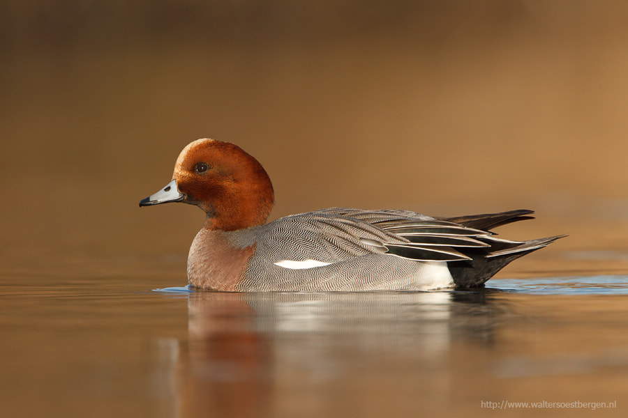 Photograph Eurasian Wigeon by Walter Soestbergen on 500px