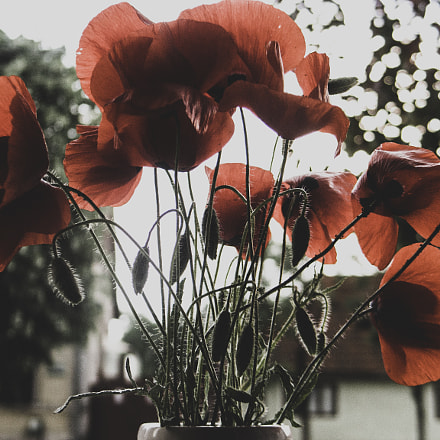 Poppies, Canon POWERSHOT G6