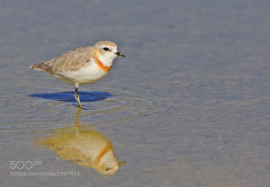 Our first sighting of this small and extremely active bird, taken on Etosha Pan, Etosha NP, Namibia, 26th June 2011