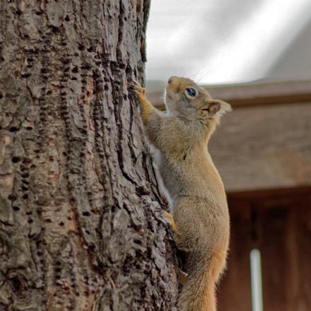 Red Squirrel, Nikon D7000, AF Nikkor 300mm f/4 IF-ED
