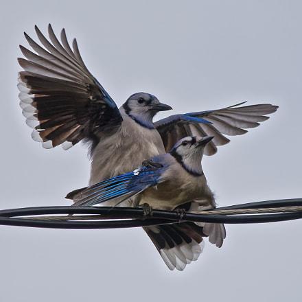 Blue Jays mating, Nikon D750, Sigma 150-500mm F5-6.3 DG OS APO HSM