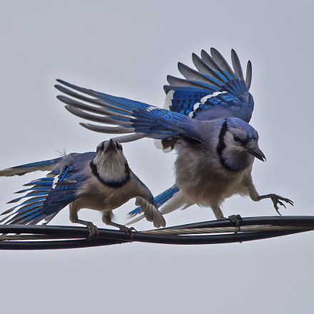Blue Jay pair, Nikon D750, Sigma 150-500mm F5-6.3 DG OS APO HSM