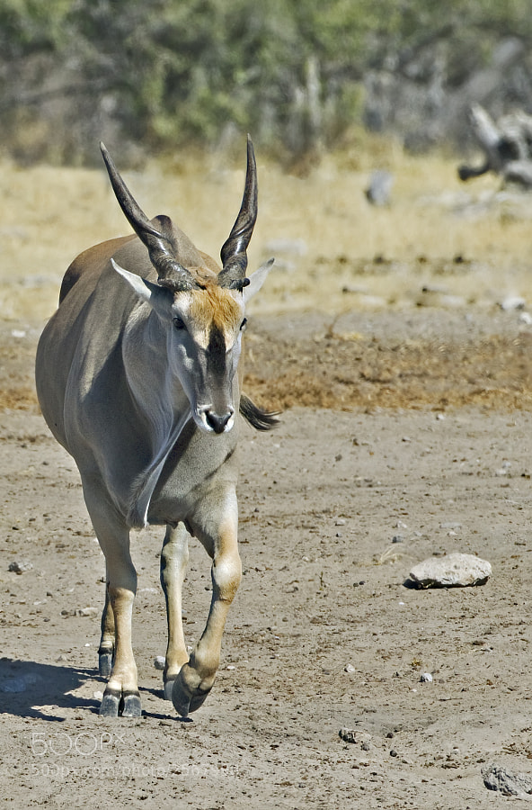 An Eland Bull makes its way down to Chudup waterhole Etosha NP, Namibia, 29th June 2011