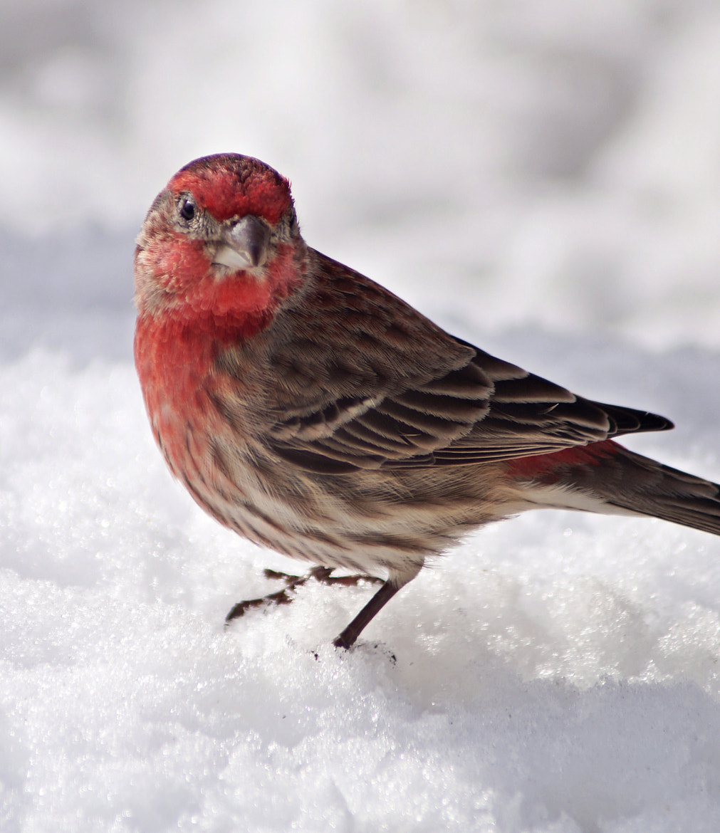 Photograph Red Finch in Snow by Cherylorraine Smith on 500px