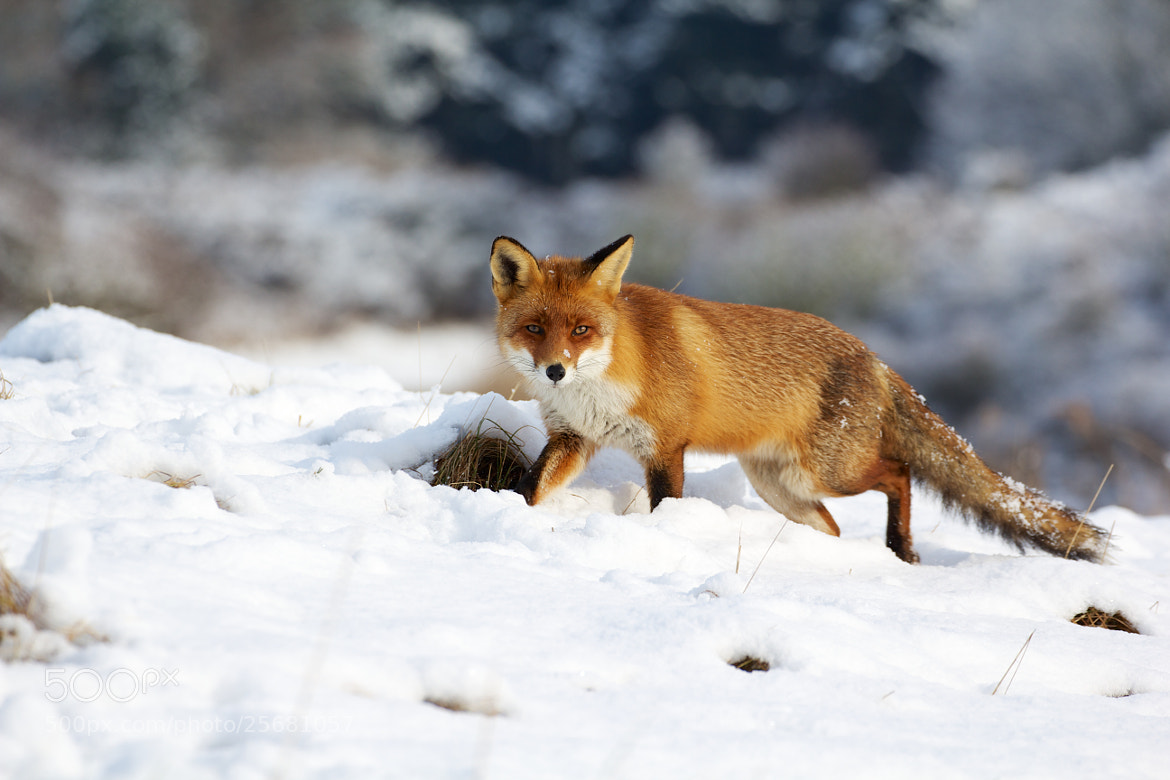 Photograph Fox in the snow by richard8 on 500px