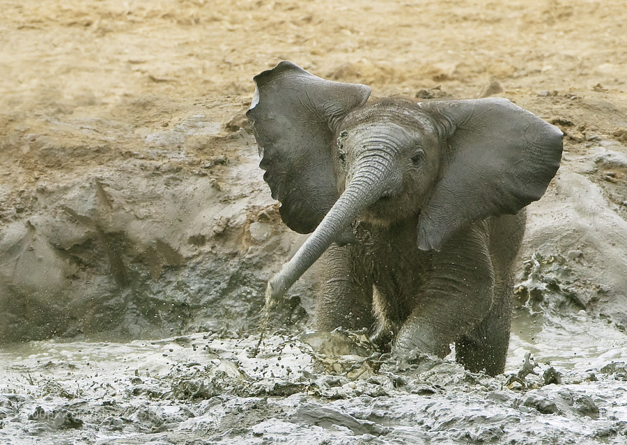 A Young Elephant enjoying a bath at Kennedy 2 waterhole, Hwange National Park, Zimbabwe. 30th June 2010