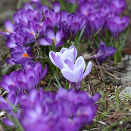 crocuses, Canon EOS 650D, Canon EF 70-200mm f/4L IS