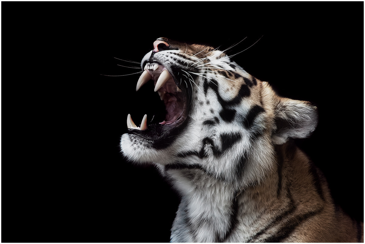 Photograph Tiger by Thomas Juel on 500px