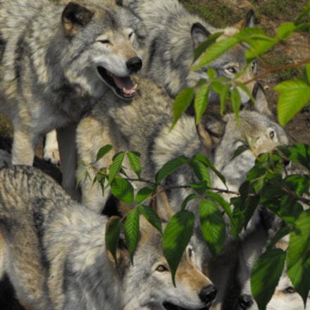 wolf, Fujifilm FinePix S1000fd
