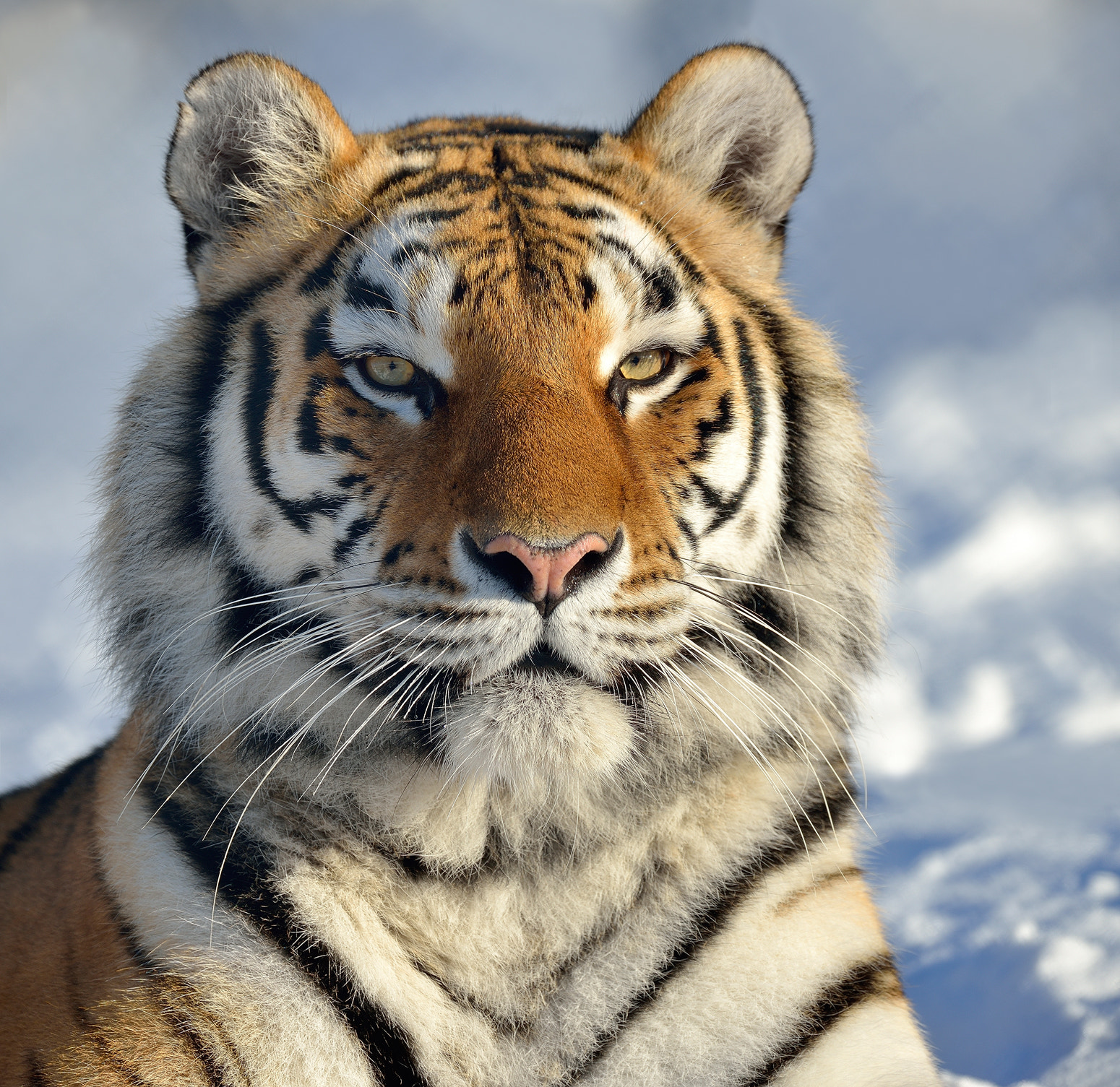Photograph Siberian tiger by Ronnie Bergström on 500px