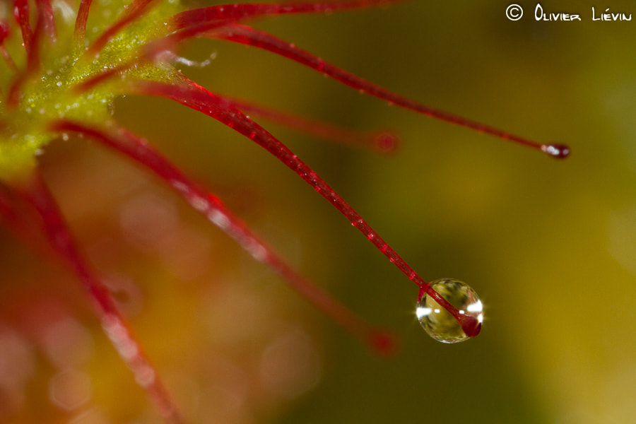 Photograph Drosera rotundifolia by Olivier Liévin on 500px