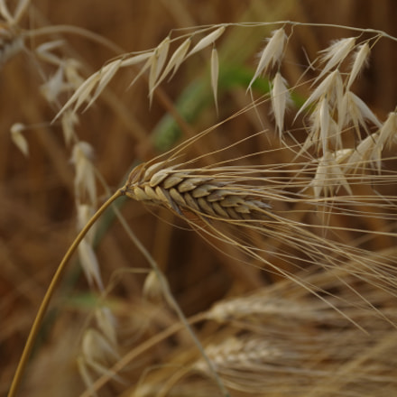 Wheat, Pentax K-50, smc Pentax-DA L 50-200mm F4-5.6 ED WR