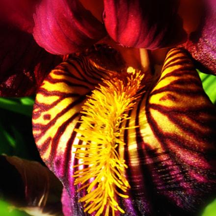 Bearded iris detail, Panasonic DMC-TZ35