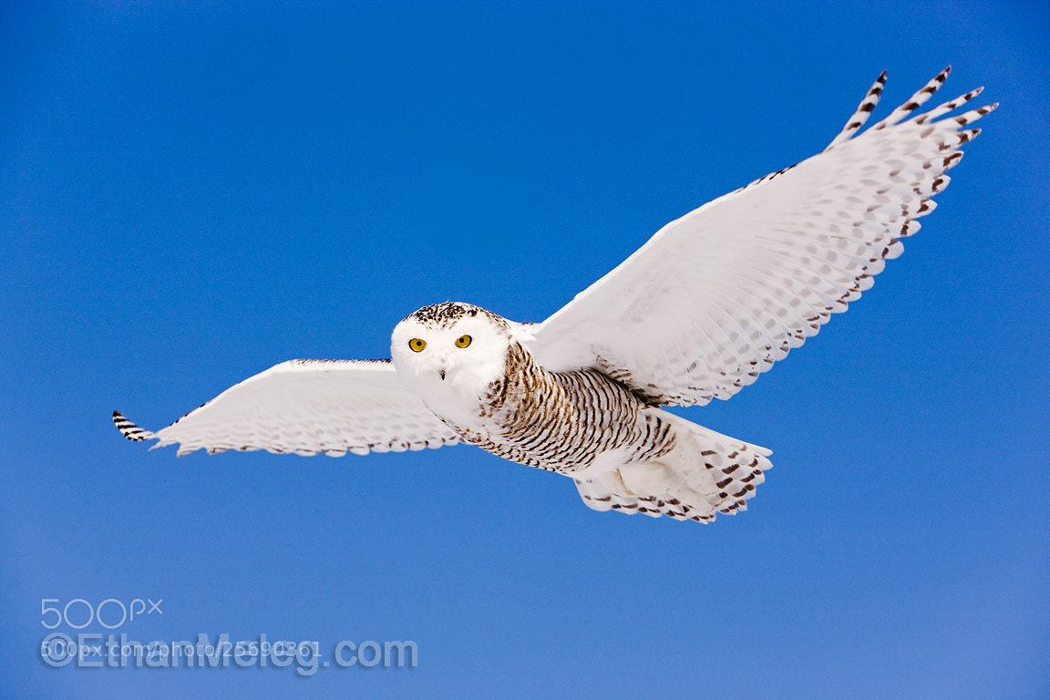Photograph Snowy Owl in flight by Ethan  Meleg on 500px