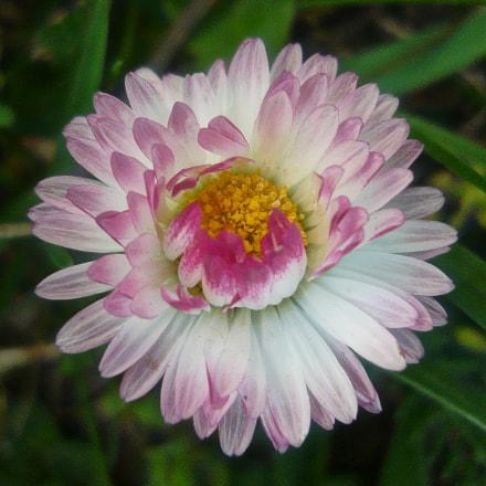 Daisy, Panasonic DMC-LS80