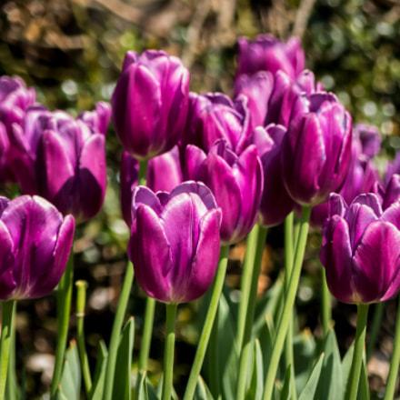 Tulips Towards The Sun, Panasonic DMC-FZ330