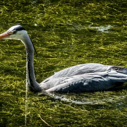 Heron In the Pond, Panasonic DMC-FZ330