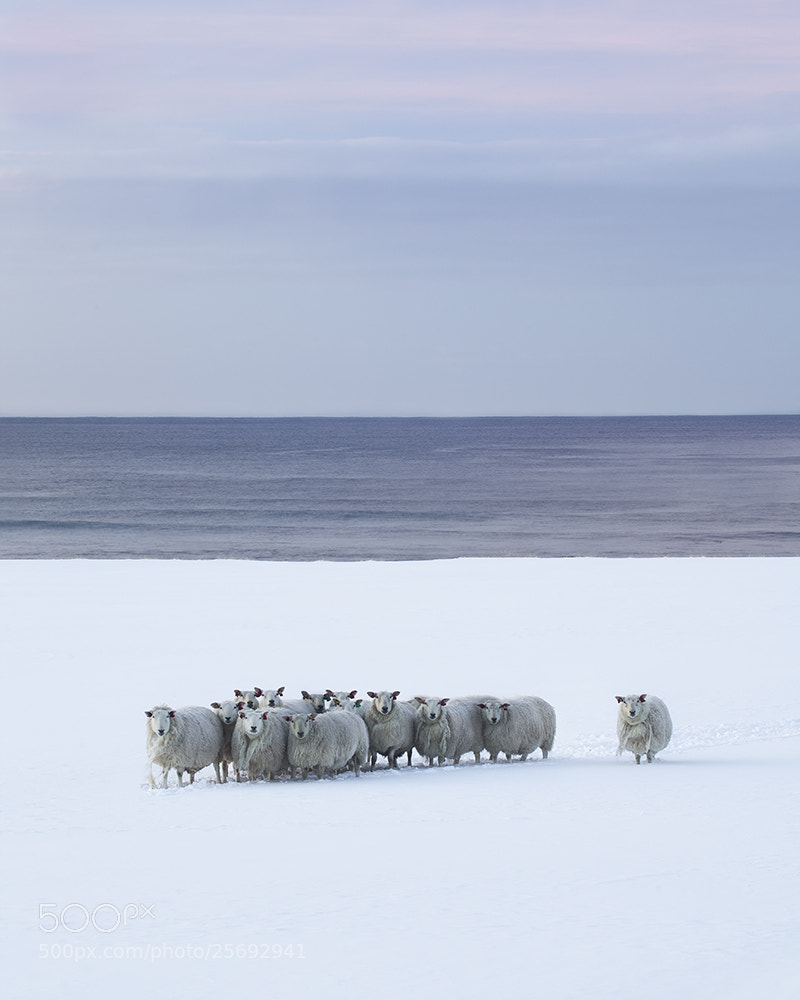 Photograph Snow Sheep by Daniel Hannabuss on 500px