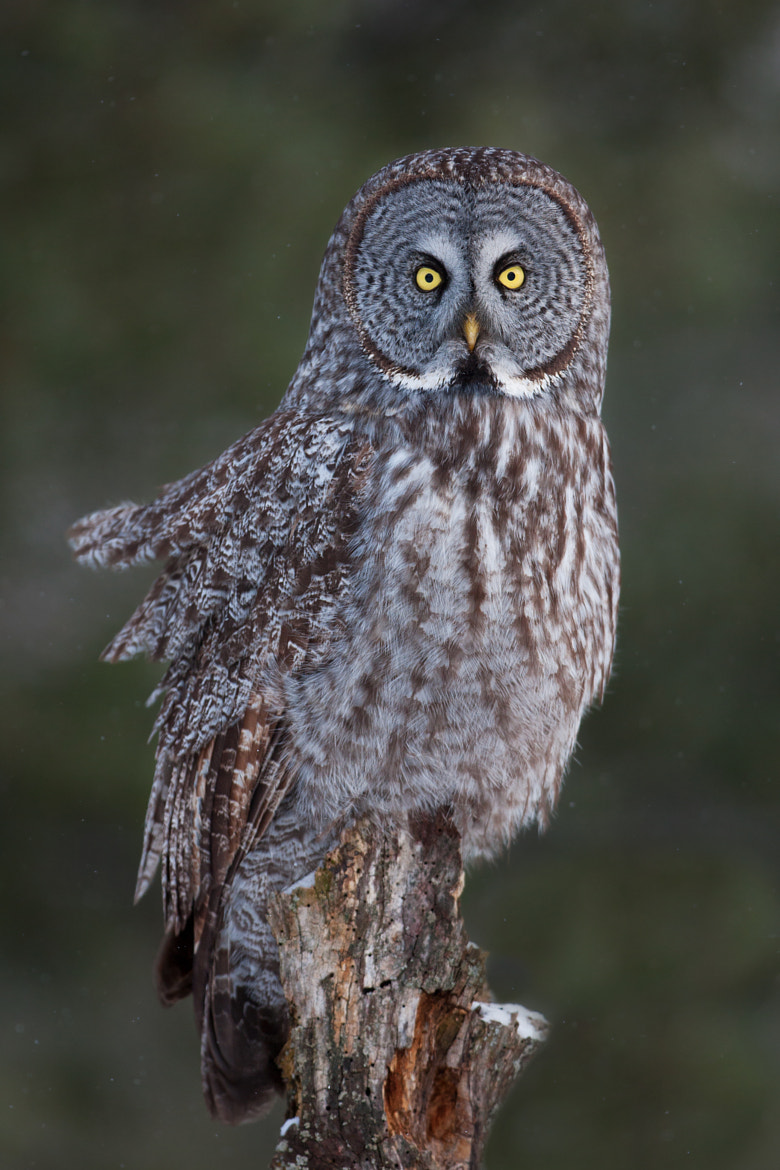 Photograph Feathered - Great Grey Owl by Jim Cumming on 500px
