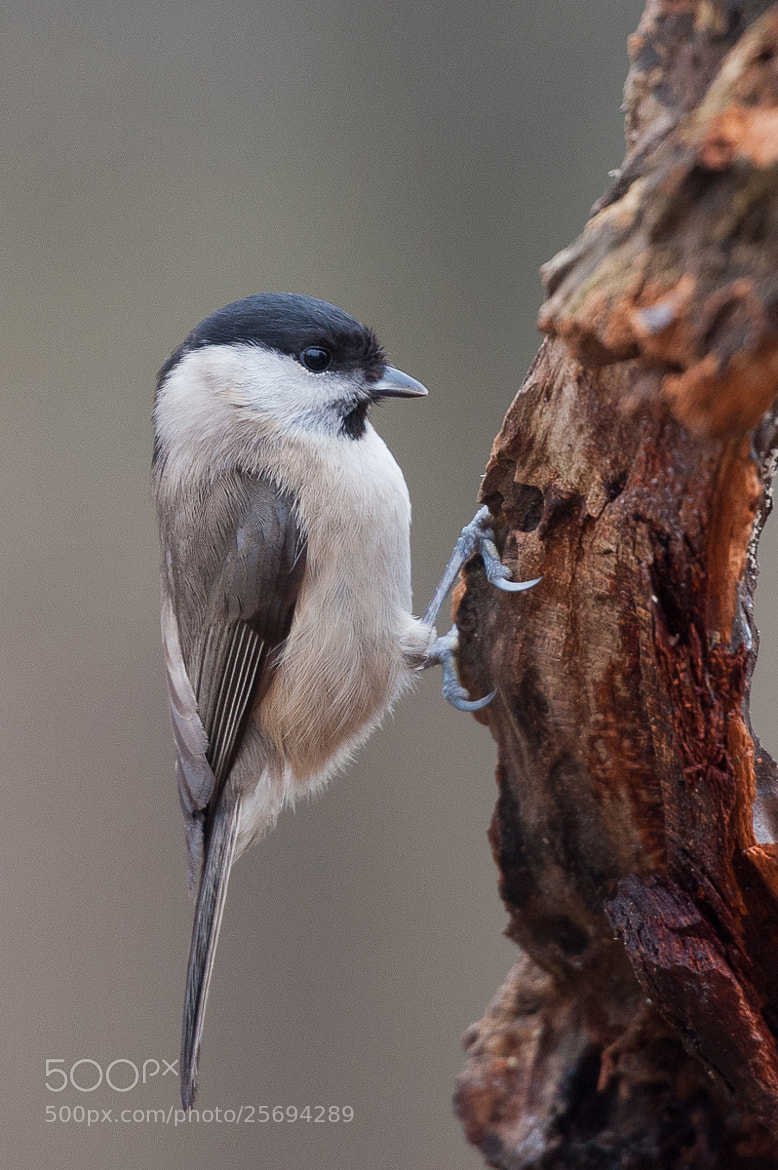 Photograph Marsh Tit by Riccardo Oldani on 500px