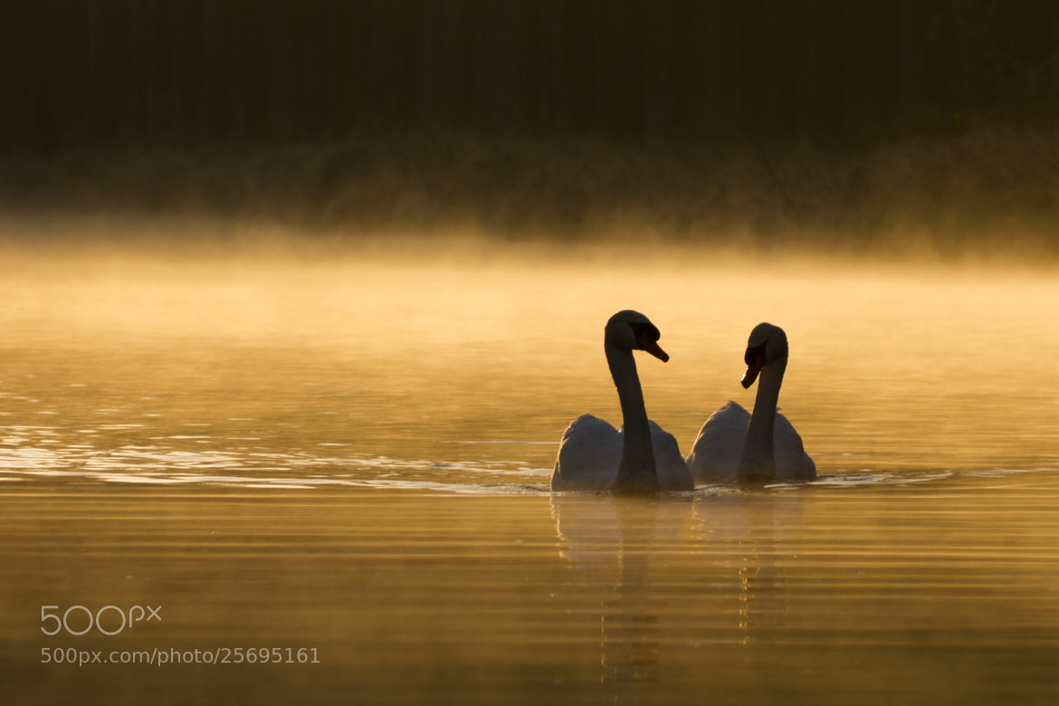 Photograph Cygnes / Swan by Julien LAURENT on 500px