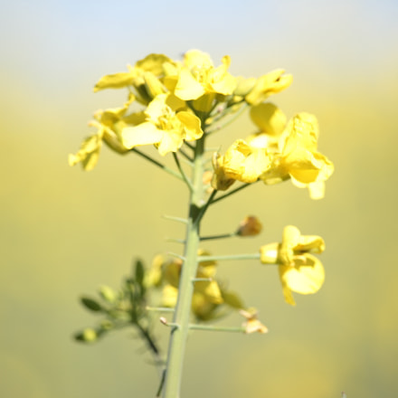 Rapeseed everywhere, Canon EOS 600D, Canon EF-S 55-250mm f/4-5.6 IS STM