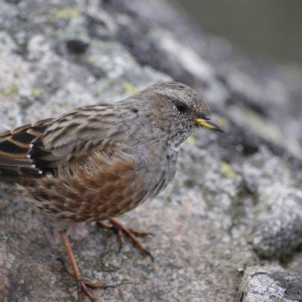 Rock bird, Sony DSLR-A300, DT 55-200mm F4-5.6