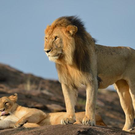 Lion couple on honeymoon, Nikon D4, AF-S VR Nikkor 600mm f/4G ED
