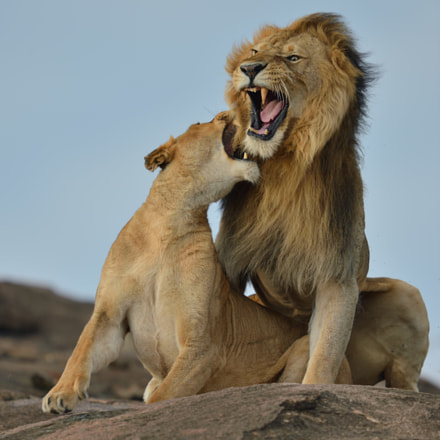 Lion love can be, Nikon D4, AF-S VR Nikkor 600mm f/4G ED