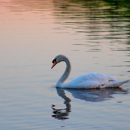 Swan at Sundown, Canon EOS 2000D