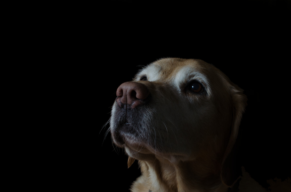 Photograph A very golden retriever by Jimmy Daly on 500px