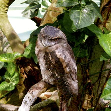 Frogmouth Owl, Fujifilm FinePix S8000fd