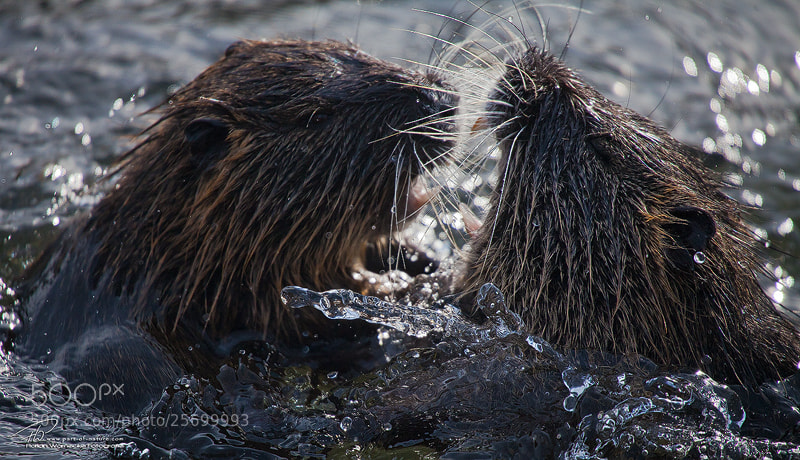 Photograph Nutria fight by Florian Warnecke on 500px