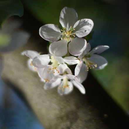 Apple Tree Flowers, Nikon D7200, AF Nikkor 50mm f/1.8