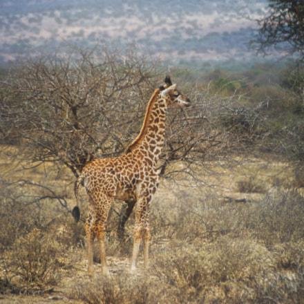 Giraffe Elder, Pentax K200D, smc PENTAX-DA 50-200mm F4-5.6 ED