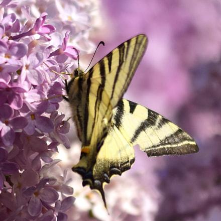 2018-04-butterfly kisses.jpg, Nikon D5300, Sigma APO Macro 150mm F2.8 EX DG HSM