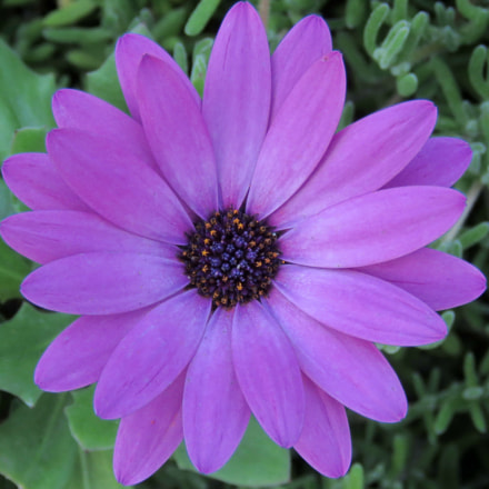 Purple Daisy Flower, Canon POWERSHOT SX60 HS, 3.8 - 247.0 mm