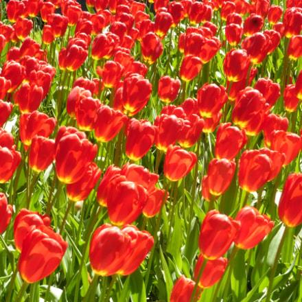 Tulips, Panasonic DMC-TZ55