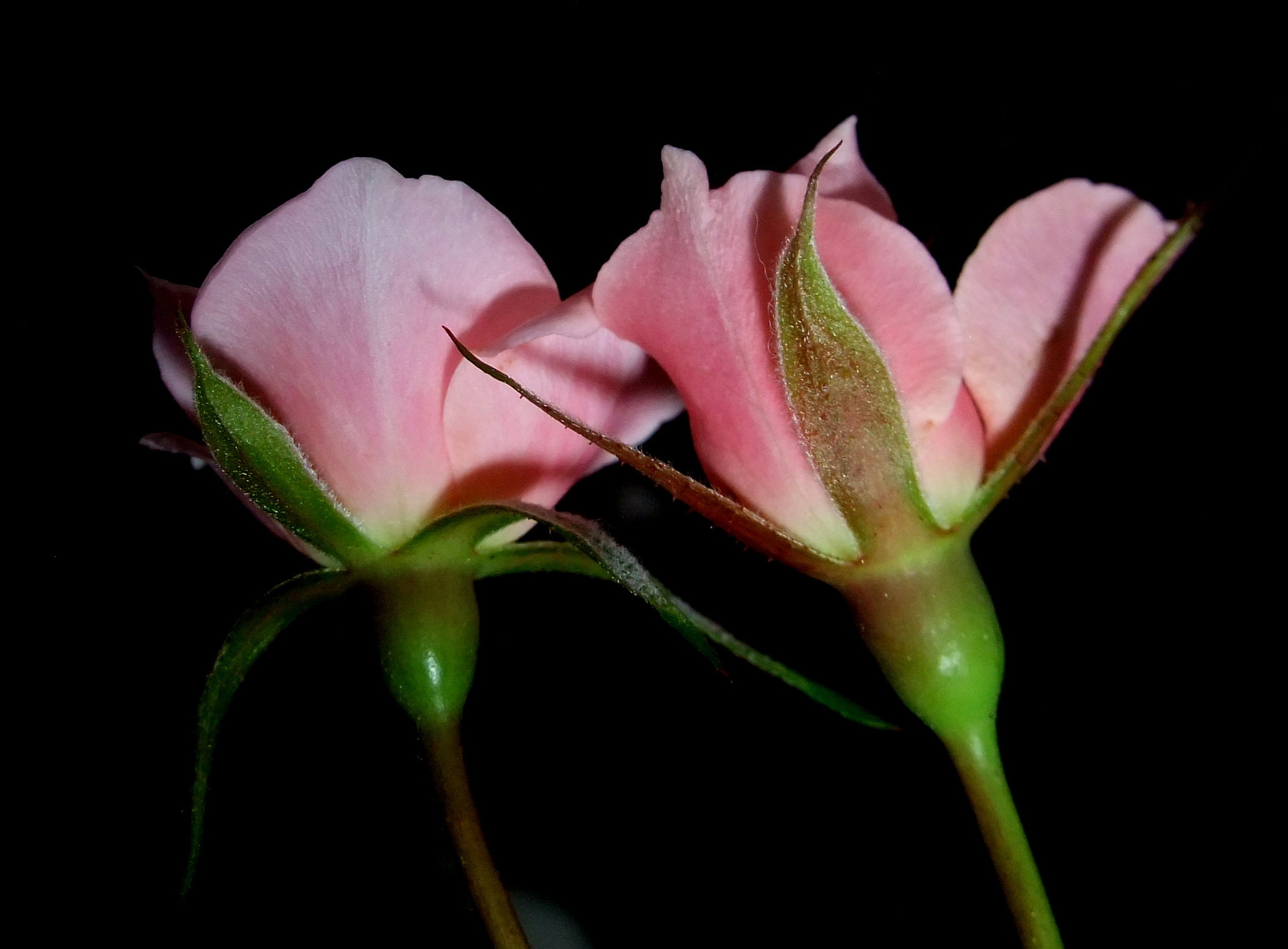 Photograph Pink roses by Nazia di on 500px