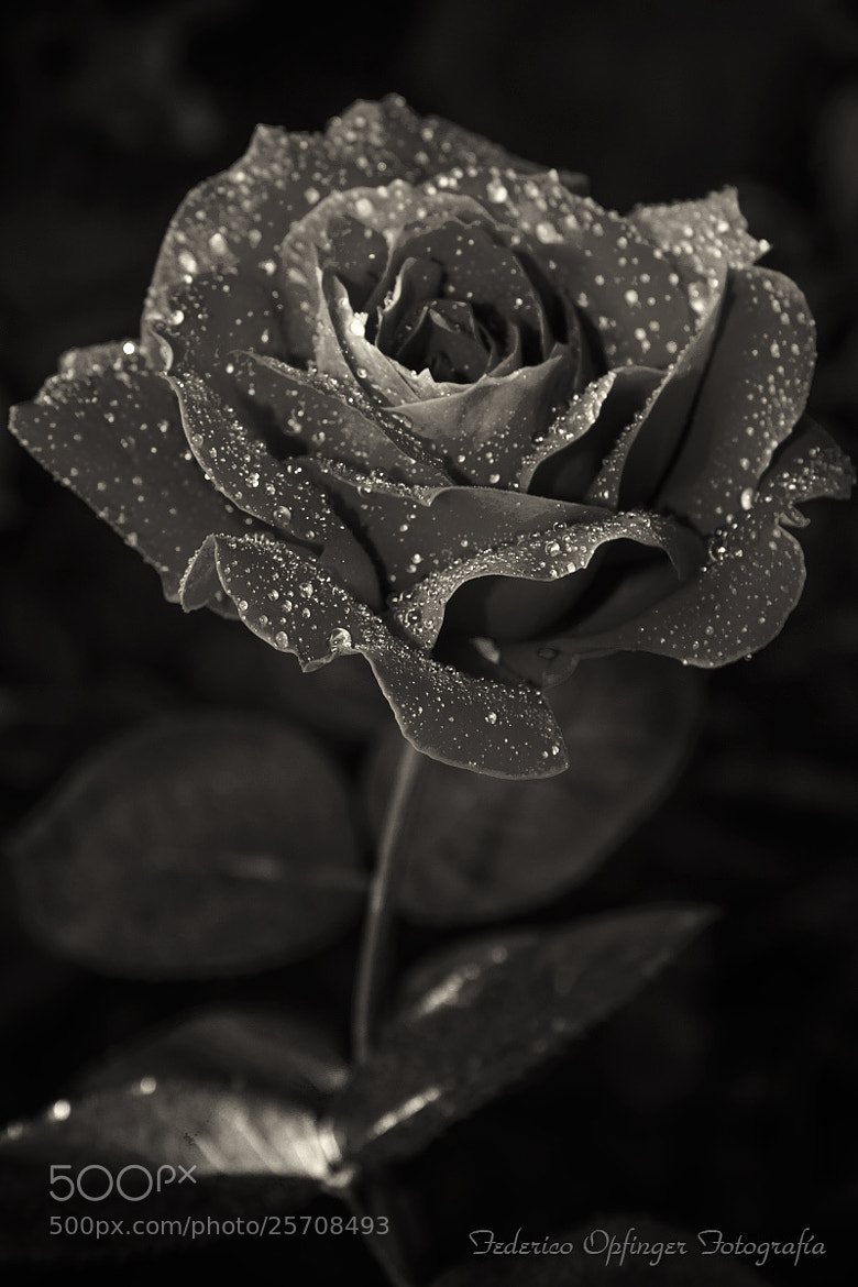 Photograph Rose by Federico Opfinger on 500px