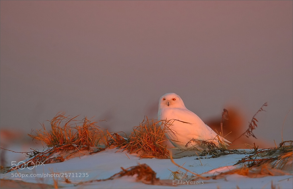 Photograph Snowy Owl at Sunset by Eddie Yu on 500px