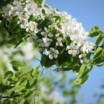 Beautiful branch pear tree, Canon EOS 550D, Canon EF 50mm f/1.8