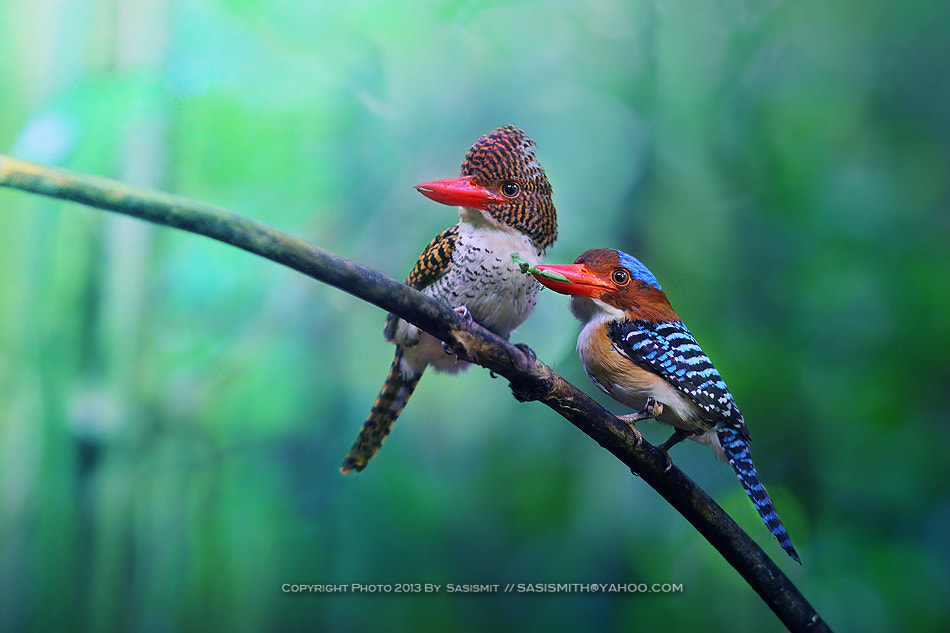 Photograph Banded Kingfisher by Sasi - smit on 500px