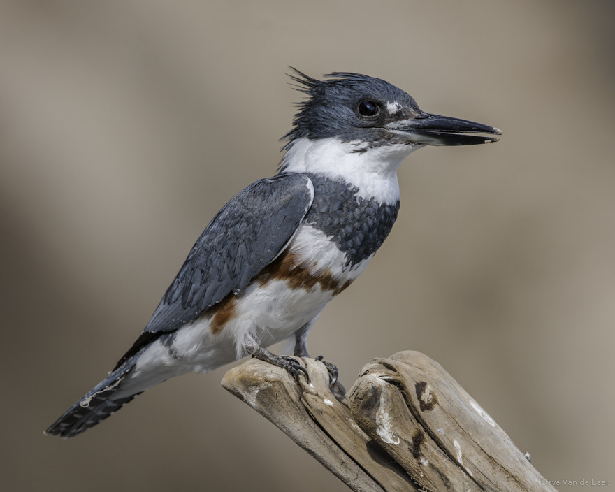 Photograph Female Belted Kingfisher by Dave Van de Laar on 500px