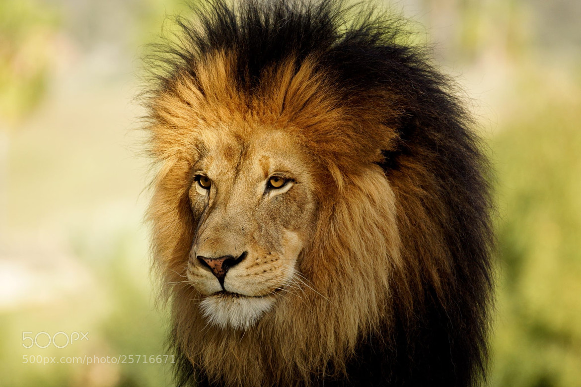 """Photograph """"King Of The Jungle"""" by marcusc on 500px"""