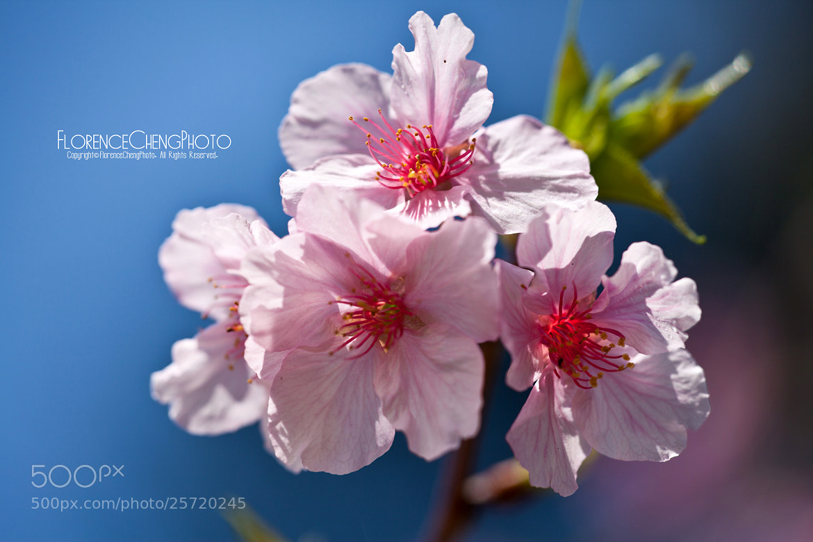 Photograph Cherry blossoms by Florence Cheng on 500px