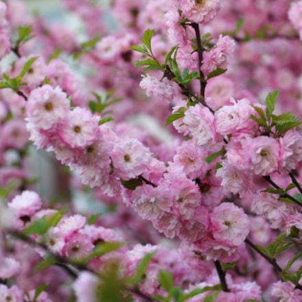 Sakura blossom, Canon EOS 1100D, Canon EF 50mm f/1.8 II