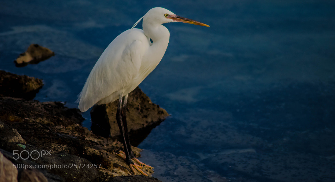 Photograph The Snowy Egret by julian john on 500px