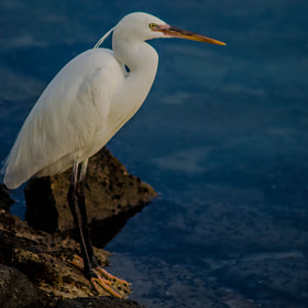 The Snowy Egret by julian john (sandtasticdays)) on 500px.com
