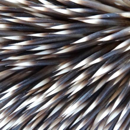 hedgehog, Sony DSC-HX20V